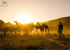    Morning Tales    (joydeepmukherjee322) Tags: nikond7000 tamron1750mmf28 pushkar rajasthan camel goldenhour