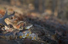 Corn Snake (cre8foru2009) Tags: pantherophisguttata cornsnake snakes snake reptile herping georgia sigma artlens nature bokeh warm light