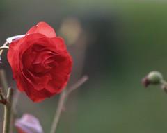 Nottingham Castle (fanmickeywang) Tags: winter nature floraandfauna flower plant rose rosa red oldcamera olympusesystem e300 kodakccd