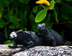 Galapagos Marine Iguana (Mahmoud R Maheri) Tags: galapagos iguana animal wildlife marineiguana santacruiz galapagosislands pacificocean ecuador shore reptile