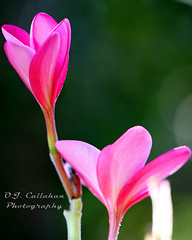 16Plumeria_9071n (OJCPhotoInc) Tags: ojcallahanphotography macro macrophotography macroflowers canonef100mmf28lismacro canoneos7d plumeria
