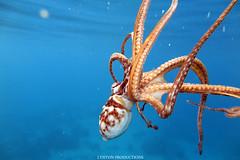 IMG_0074 copy (Aaron Lynton) Tags: spanish dancer snorkel scooter maui hawii hawaii canon g1x spanishdancer turtle honu tako octopus ocean animals papio yellowspotpapio starfish