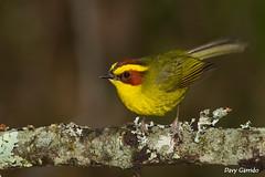 Golden-browed Warbler, Hidalgo, Mxico. (Davy Garrido) Tags: goldenbrowedwarbler warbler bird mxico hidalgo pachuca mineraldelchico basileuterusbelli basileuterus canon 400mm