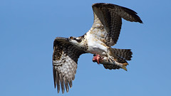 Juvenile Osprey (photosauraus rex) Tags: bird osprey outdoor ospreyjuvenile pandionhaliaetus seahawk vancouver bc canada ospreywithfish