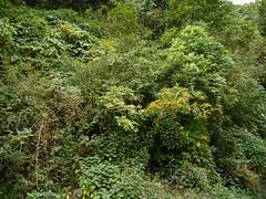 Pittosporum dasycaulon Miq. (dinesh_valke) Tags: pittosporaceae pittosporumfamily endemic evergreen tree pittosporum pittosporumdasycaulon analivenna bugari gapsindi gapsundi hairybranchedpittosporum ikali kasumaram