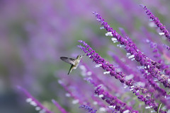 So Tiny (Patricia Ware) Tags: annashummingbird birdsinflight california calypteanna canon ef400mmf56lusm palosverdespeninsula httppwarezenfoliocom 2016patriciawareallrightsreserved rollinghillsestates unitedstates us specanimal