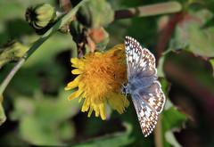Skipper on a blossum (TJ Gehling) Tags: insect lepidoptera butterfly hesperiidae skipper checkeredskipper pyrgus pyrguscommunis fairmontpark elcerrito
