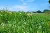 DSC03740 (sergeyudalov) Tags: outdoor landscape ландшафт clouds overcast облака blue синий голубой sky небо white белый grass трава green зелёный meadow луг поляна луговина field поле plants растения serene безмятежность bright яркий wildflower полевойцветок summer summertime лето