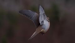 nov30 2016 6 (Delena Jane) Tags: delenajane inflight dove macro mourningdove pentaxart bird conceptionbaysouth canada newfoundland ngc