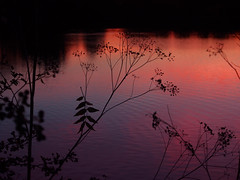 hogweed silhouette (mark.griffin52) Tags: olympusem5 england hertfordshire tring tringfordreservoir reservoir seedhead hogweed silhouettes lake reflections sunset