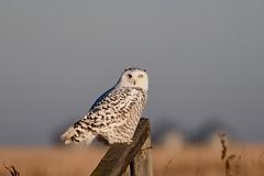 DSC_1961 (barrypphotos) Tags: snowy owl southern alberta prairie