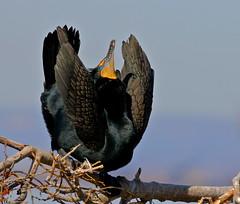 Advertising (Slow Turning) Tags: phalacrocoraxauritus doublecrestedcormorant bird perched courtship display spring southernontario