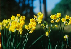 Little daffodils. (Hijo de la Tierra.) Tags: film analog 35mm grain vintage old flowers daffodils junquillos yellow autumn south
