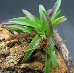 Dryadella sp SOR/SP (Micro-orquídeas Roberto Martins) Tags: dryadella sp sorsp pleurothallidenae micro microorquídeas mini orquídeas exposição orquidáceas galeria robertomicroorquideas robertoorquideas robertomicros permuta venda de coleção