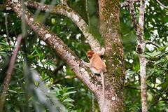 Proboscis Monkey (Bryn Tassell) Tags: brunei borneo jungle mala malaysia tropical proboscis monkey longnosed