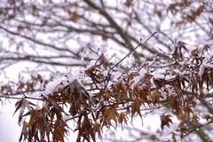 First Snow (robinlamb1) Tags: still leaves nature tree japanesemaple snow snowfall outdoor redleaves aldergrove