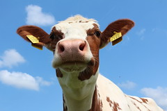 Olympic Quik Topper (excellentzebu1050) Tags: animal animals closeup cow cattle outdoor farm animalportraits heifer dairycows oudside coth5 july2015shootheifers