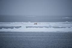 DSC_3423 (stacyjohnmack) Tags: july23 polarbear artic