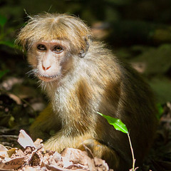 "Toque macaque - Sri Lanka • <a style=""font-size:0.8em;"" href=""http://www.flickr.com/photos/71979580@N08/20750275265/"" target=""_blank"">View on Flickr</a>"