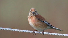 Linotte mlodieuse, Am, n (R, 2014-05-11_09) (th_franc) Tags: oiseau linottemlodieuse