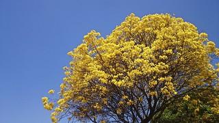 Ipê-amarelo [Handroanthus albus]