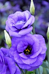 lisianthus (armykat) Tags: flowers flower floral petals flora longwoodgardens lisianthus natureycrap kennettsquarepennsylvania