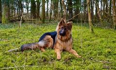 ©AnthonySADI / Berger allemand (anthonysadi) Tags: dog chien nature automne photo nikon junior amis forêt vosges bois verdure mousse berger bergerallemand fidèle