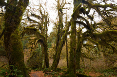 Enchanted Forest (gourab66) Tags: travel nature landscape washington moss nikon rainforest pacificnorthwest olympicnationalpark enchantedforest hohrainforest nikond810 nikon1635mmf4vr