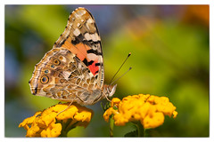 La Belle-Dame (sviet73) Tags: vanessa macro nature animal butterfly ngc papillon npc insecte sicile cardui nymphalidae belledame panoramafotográfico flickrsportal esenciadelanaturaleza magicmomentsinyourlife nature'splus