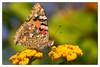 La Belle-Dame (sviet73) Tags: sicile animal insecte macro nature papillon butterfly belledame nymphalidae vanessa cardui ngc npc magicmomentsinyourlife panoramafotográfico esenciadelanaturaleza nature'splus flickrsportal theoriginalgoldseal
