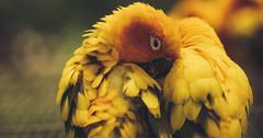 Hallim Park, Jeju (Photos by Louis) Tags: park macro love birds animals yellow asian island zoo asia minolta wildlife sony korea romance 100mm korean romantic lovebirds jeju f28 a7 hallim