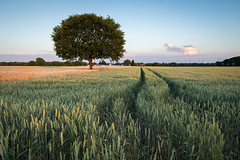 Lone tree in wheatfield (wiscmic) Tags: baum bäume clouds deutschland germany herten landschaft natur nature sommer sonnenuntergang summer sunset tree trees weizenfeld landscape wheatfield nrw nordrheinwestfalen