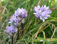 Spring Squill: Scilla verna, Group (sfb_dot_com) Tags: blue ireland england france spring spain cornwall britain violet cliffs stamens coastal bulbous scandinavia grassland stigma corolla perennial helston inflorescence monocot temperate angiosperm asparagales asparagaceae geophyte tepals