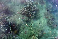PC130919 (gprana) Tags: bali fish indonesia olympus lovina m43 singaraja micro43 microfourthirds olympusomdem5 olympusmzuiko1250mmf3563
