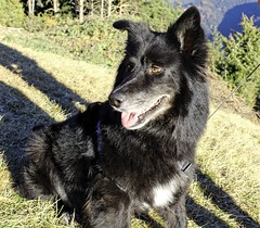 Layla (giulianacasagranda) Tags: dog black beautiful animal wolf shepherd like belgian faithful