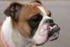 Rosie (Yer Photo Xpression) Tags: dog canon bulldog oldeenglishbulldog canonef35350mmf3556lusm canoneos40d ronmayhew