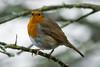 Robin (Shane Jones) Tags: bird robin nikon 200400vr d7200