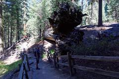 W Parku Narodowym Sekwoi | In Sequoia National Park
