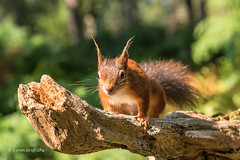 Hello cutie D75_5258.jpg (Mobile Lynn) Tags: nationaltrust rodents wild brownseaisland redsquirrel nature fauna mammal mammals rodentia wildlife purbeckdistrict england unitedkingdom gb coth specanimal ngc coth5 sunrays5 npc