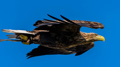 2016-10-04 Thirsk-6613.jpg (Elf Call) Tags: 120300 prey nikon hawk vulture birds owl eagle kookaburra psion d7200 hill