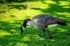 Goose at the lake (randyherring) Tags: ca california santaclaracountyparks geese vasonalakecountypark nature losgatos afternoon canadagoose park lake recreational outdoor brantacanadensis unitedstates us