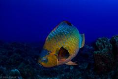 Rainbow Parrotfish (jcl8888) Tags: colorful reeffish coralreef openwater saltwater sea ocean underwater scales parrotfish fish rainbow scuba diving nauticam nikon tokina 1017mm