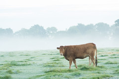 20161010-05_Cow_Morning Mists_Little Lawford Rugby (gary.hadden) Tags: rugby warwickshire littellawford kingsnewnham middleengland landscape dawn sunrise mist softlight goldenhour cow cattle bullock cows