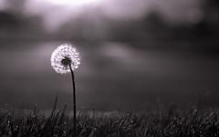 dark dandy - 287/366 (auntneecey) Tags: dandelion monochrome mono hmbt 366the2016edition 3662016 day287366 13oct16 odc lessismore