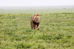 Male Lion in Gorongoro