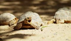 Turtle (R!cP!c) Tags: turtle little animal schildkrte