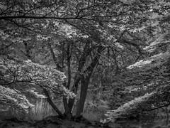 Zweige (olipennell) Tags: baum botanischergarten mnchen nymphenburg monochrome blackwhite tree zweige munich