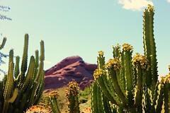 Desert Botanical Gardens (Paige_Terhune) Tags: comment likfollow saguaro cactus landscape nature first az desertbotanicalgardens arizona garden mountains rocks rock mountain desert