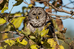 Barred Owl (grobinette) Tags: barredowl owl occoquanbaynationalwildliferefuge raptor explored