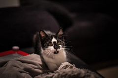 New Kitten (Evan's Life Through The Lens) Tags: camera sony a7s lens glass 50mm f18 af fe beautiful kitten animal pet cat contrast vignette dark black white cute fluffy fuzzy fur
